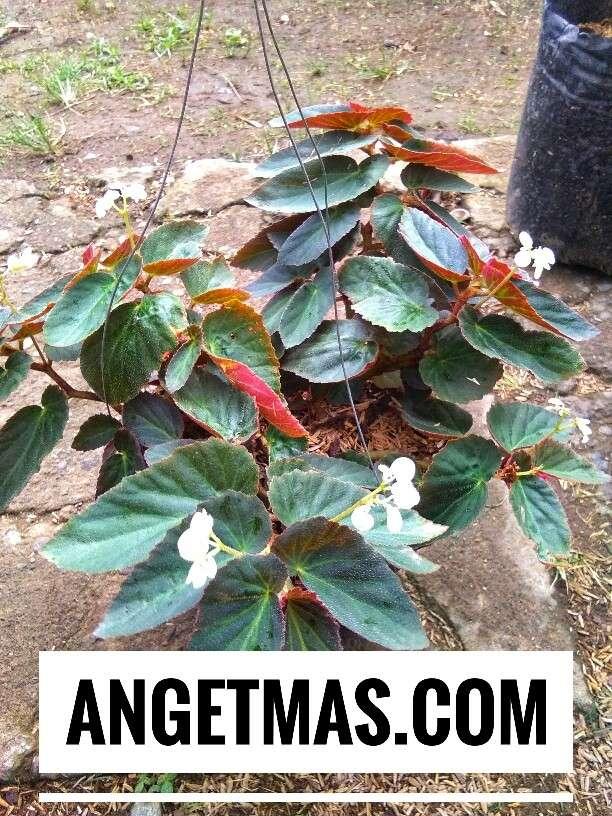 Bibit tanaman bunga begonia