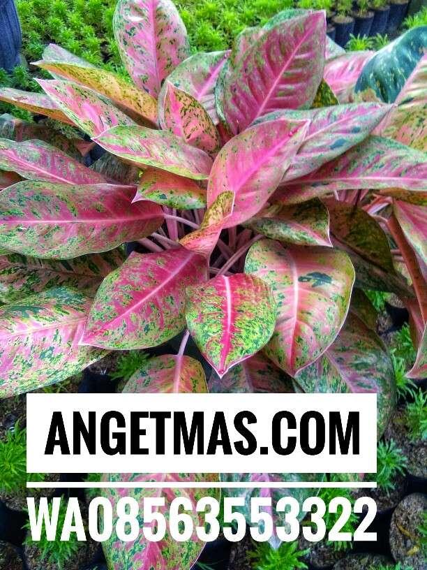 Tanaman aglaonema sexy pink