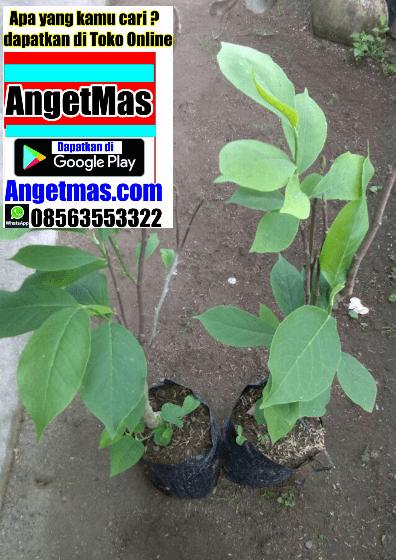 Tumbuhan kantil merah, manfaat tanaman kantil merah
