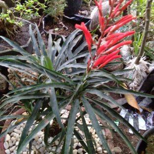 Bibit tanaman hias nanasan