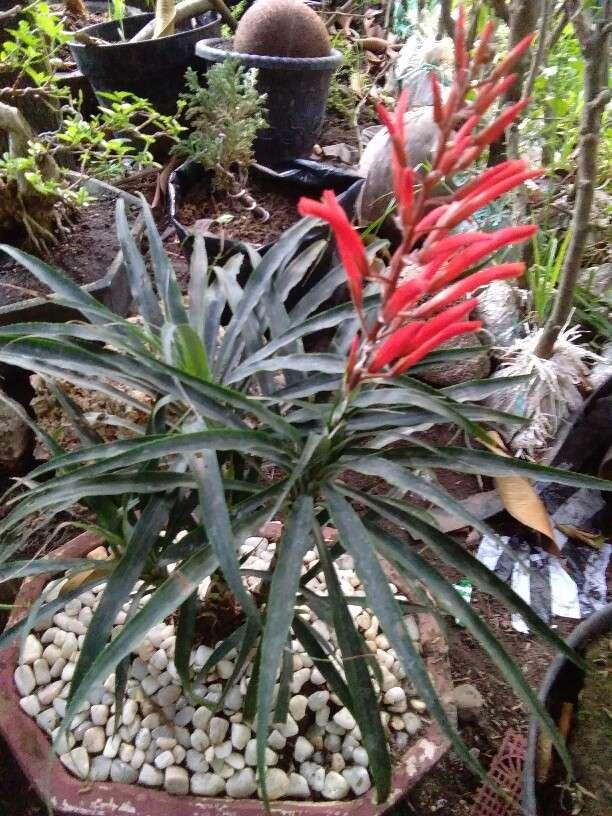 Jual tanaman hias nanasan