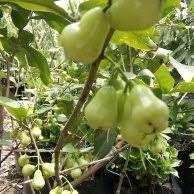 bibit tanaman jambu madu deli