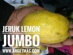 Tanaman Jeruk lemon jumbo