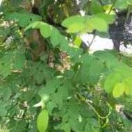 daun tampal besi