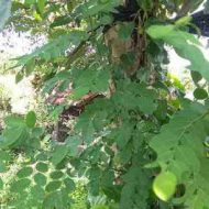 daun tampal besi 2