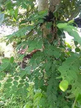 jual daun tampal besi basah atau segar