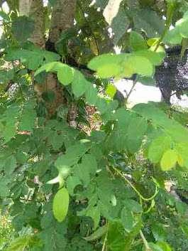 daun tampal besi segar
