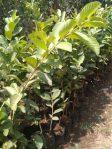 Jual tanaman buah jambu kristal putih