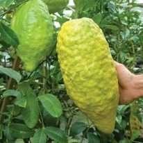 Tanaman buah Jeruk jerpaya atau pepaya