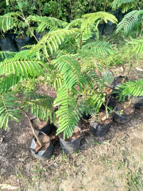 Manfaat tanaman pete