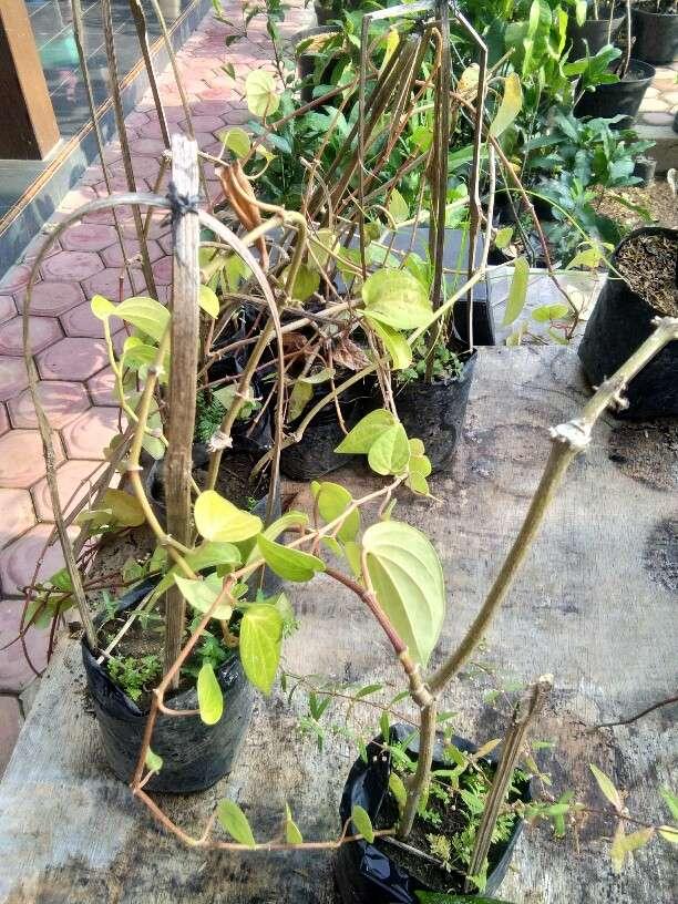 Jual tanaman sirih kuning