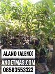 Tanaman buah sawo alano mempunyai Rosa Nikmah Dan ukuran Buah sawo Alano besar