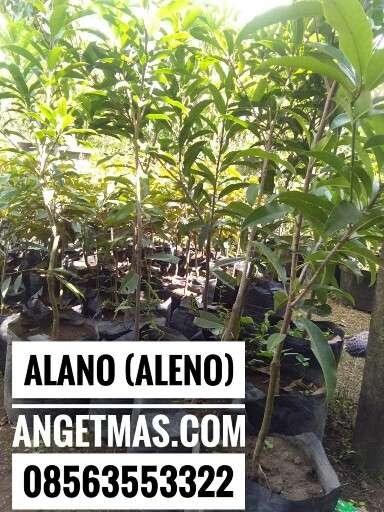 Jual bibit tanaman buah sawo alano atau aleno