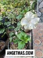 Jual bibit tanaman bunga sepatu