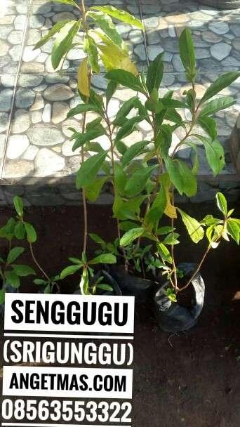 Manfaat tanaman srigunngu atau senggugu