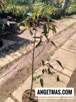 Tanaman durian cane tinggi tanaman sekitar 1 m