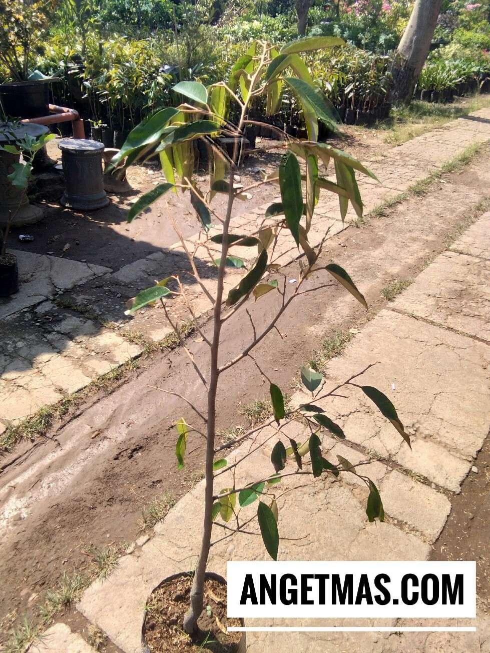 Jual tanaman durian cane