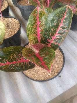 jual tanaman aglaonema adelia