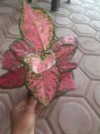 tanaman aglaonema anjamani