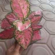 jual bibit tanaman bunga aglaonema anjamani