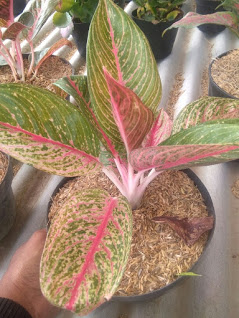 tanaman bunga aglaonema legacy