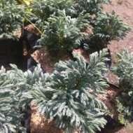 jual tanaman cemara perak