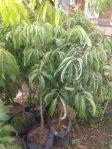 Jual Tanaman buah kelengkeng Aroma durian
