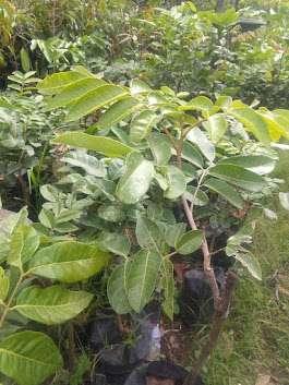 ciri ciri tanaman buah kelengkeng aroma durian