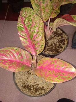 aglaonema striptis