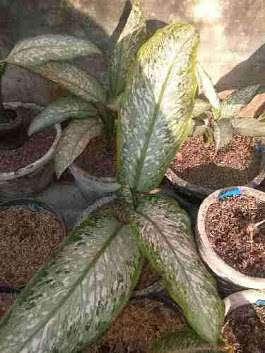 tanaman aglaonema selendang putri