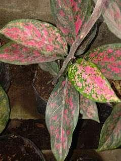 tanaman aglaonema venus