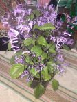 Tanaman bunga ungu