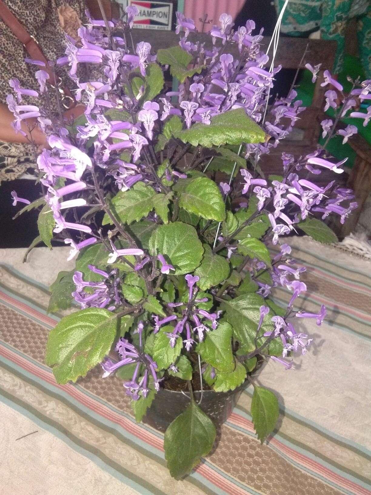 Tanaman bunga warna ungu