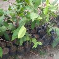 Tanaman buah Jambu cina / Jambu gelas cina