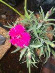 Jual tanaman hias bunga Anyelir Dan manfaat bunga Anyelir