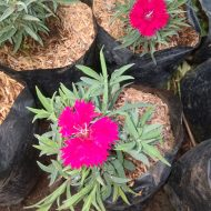 Tanaman hias bunga anyelir, manfaat Bunga anyelir Dan khasiat bunga anyelir