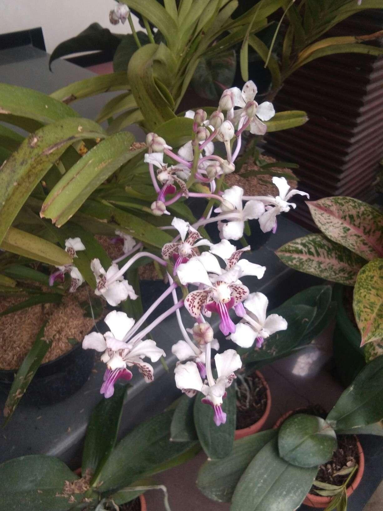 Jual bibit tanaman bunga anggrek