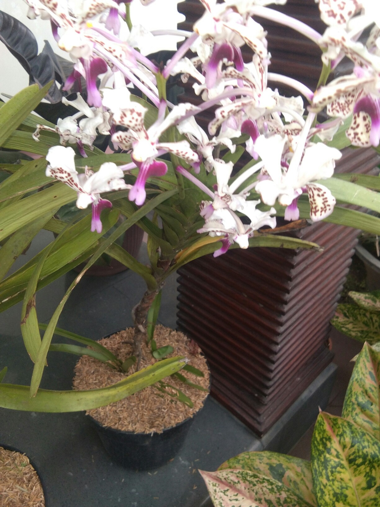 Jual tanaman bunga anggrek
