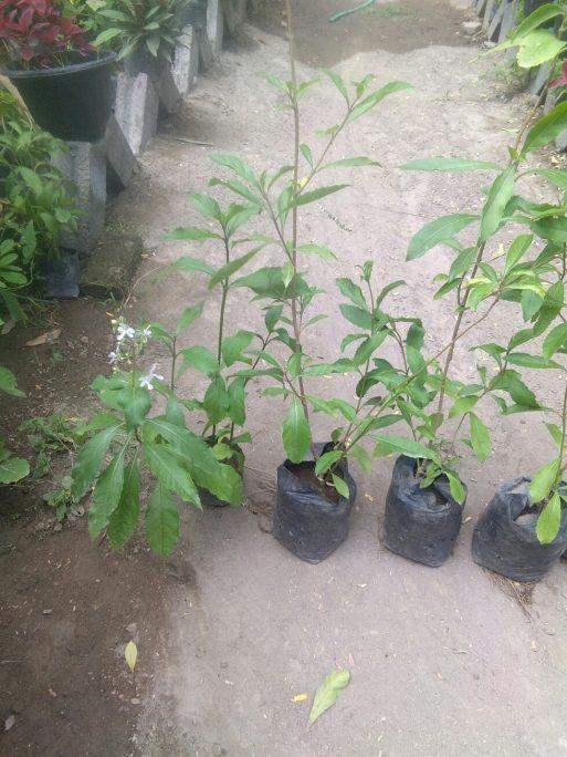 Bibit tanaman Srigunggu
