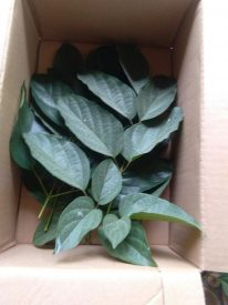Jual daun kayu Lanang