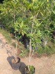 tanaman buah sawo belanda / canistel alkesa