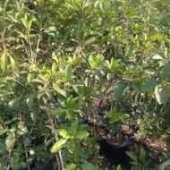 jual tanaman buah sawo belanda