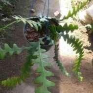 tanaman bunga keris 2