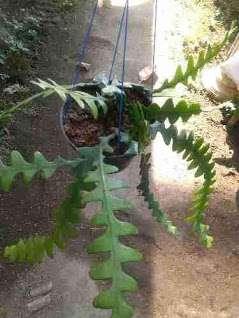 tanaman bunga keris