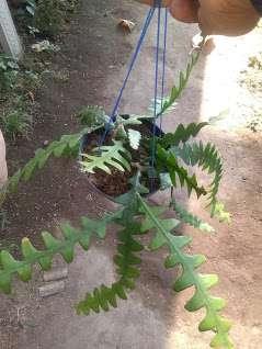 tanaman hias bunga keris