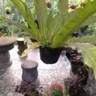 tanaman simbar paku
