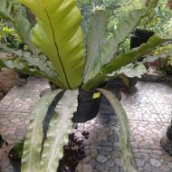 tanaman simbar paku 2
