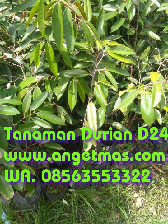 Jual Bibit Tanaman buah durian D24