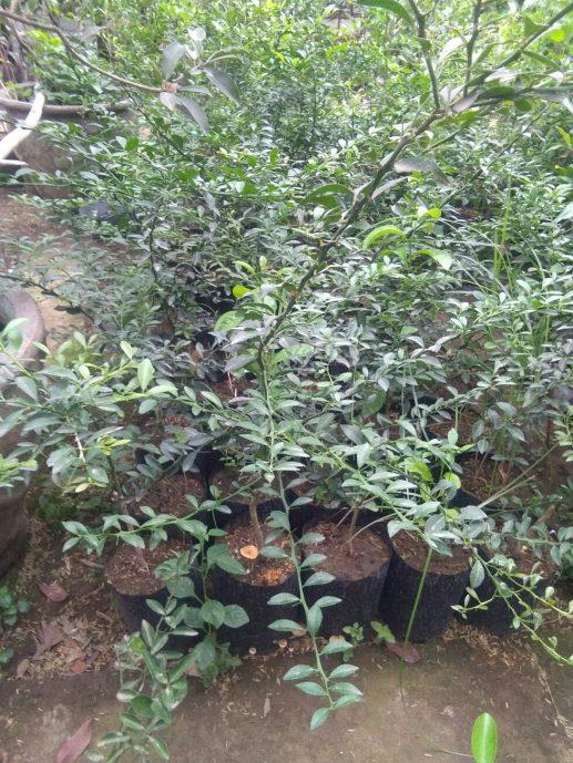 Jual bibit tanaman buah jeruk brazil
