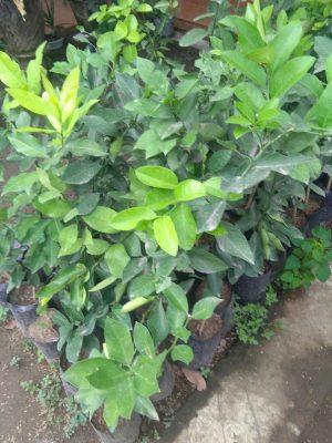 Jual tanaman buah jeruk pecel super